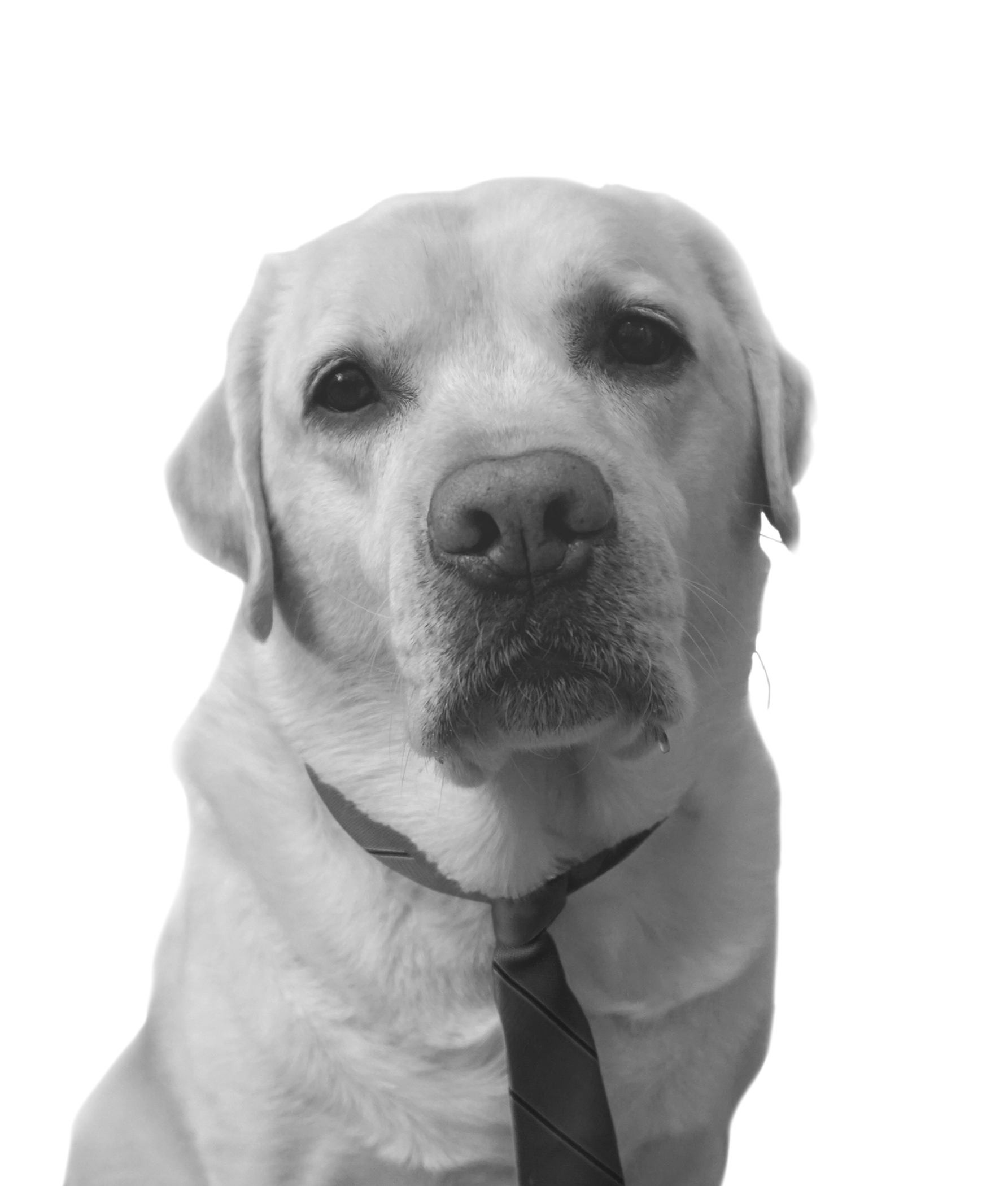 Headshot: Otto, Yellow Labrador